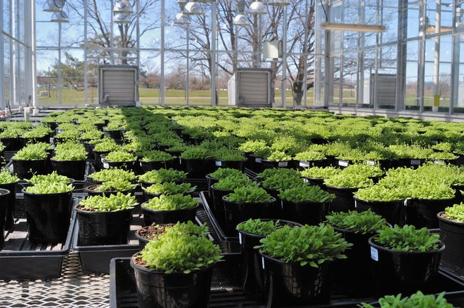 Arabidopsis seedlings, growing at Ohio State University, will be one subject of a session at the COSI Science Festival on Friday.