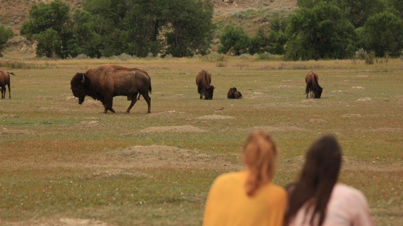 Center worries how climate change might affect Great Plains bison - Farm Forum