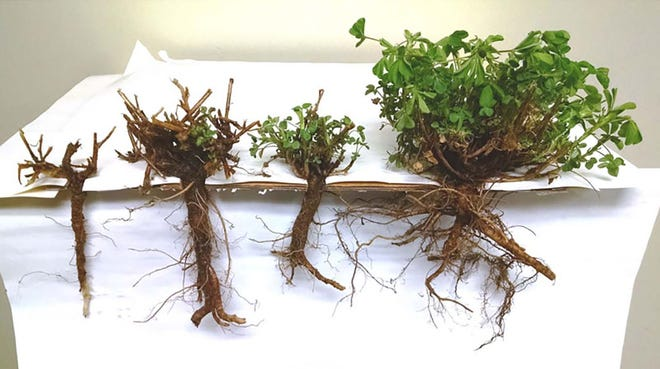 Plants from left to right: 1) Dead plant with soft root, 2) Asymmetrical growth, likely will not survive, 3) New spring buds growing after winter injury. Plant will likely survive but be slightly delayed, 4) Healthy plant with firm root and vigorous growth.