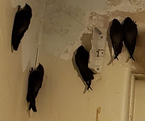 Swift birds were found clinging to the walls of Hotel Dunsmuir on the evening of April 26, 2021. They are thought to have entered the building through the chimney.
