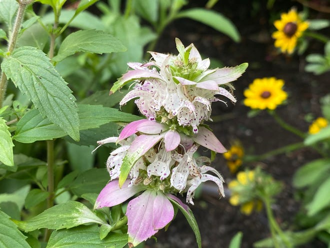 Spotted bee balm is a highly fragrant perennial, with soft, dusty pastel pinkish-lavender flower bracts on square stems.