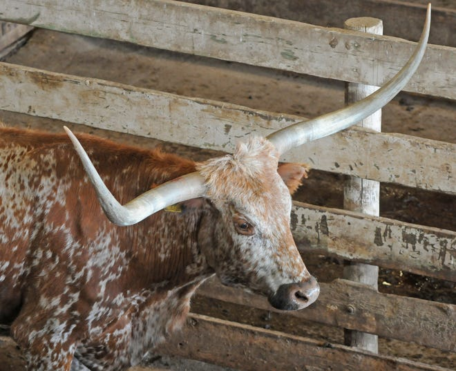 One of about 100 Longhorn cattle looks out of the holding pen after being sold at the Farmers & Ranchers Livestock, 1500 W. Old Highway 40, sale barn cattle auction on Monday afternoon.