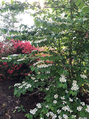 Notice how each branch of the doublefile viburnum flows downward, with rows of flowers running down each one. The white flowers look beautiful against a backdrop of red and pink azalea blossoms.