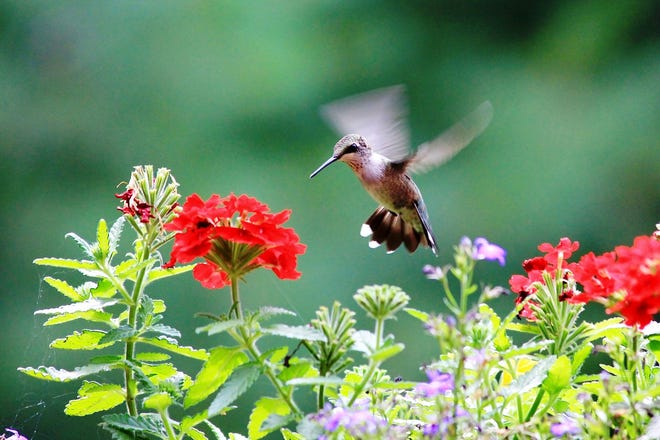 A ruby-throated hummingbird hovers while feeding on red trumpet flowers.