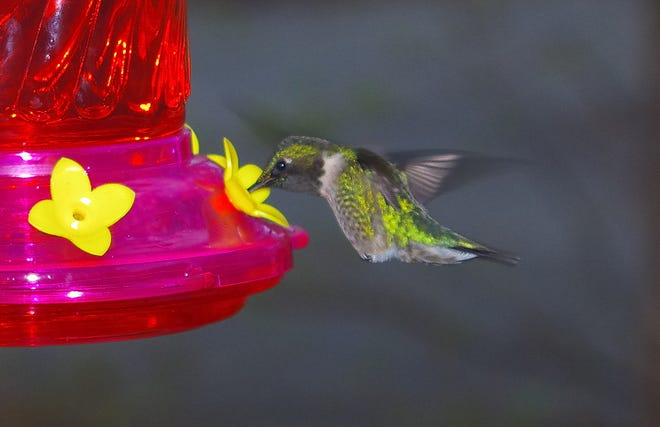 Charlie Zapolski captured this photo of a hummingbird outside his Hobson Street home.