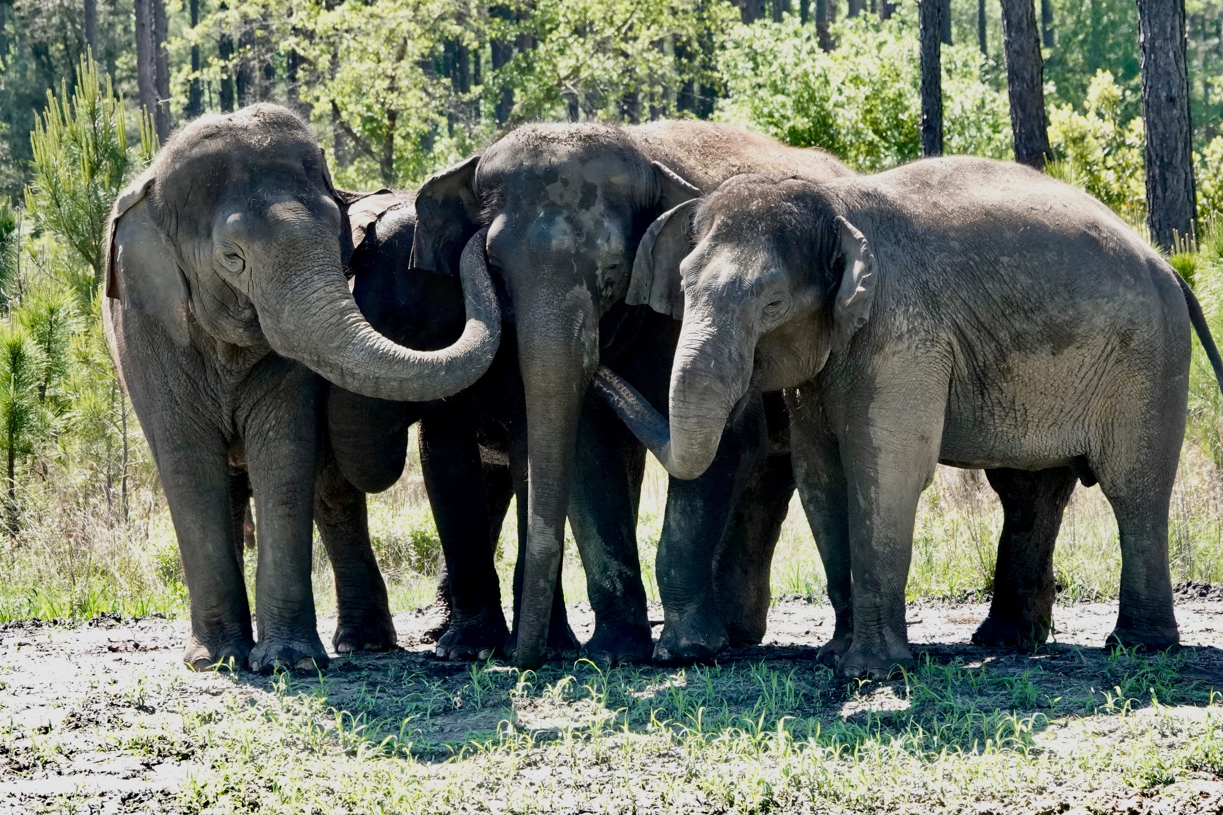 Former circus elephants begin to arrive at Florida sanctuary 1