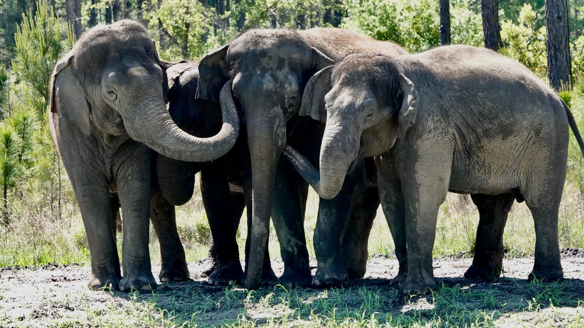 Former circus elephants begin to arrive at Florida sanctuary 2