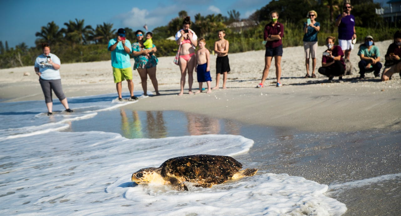 Rare sea turtle in red tide-related distress corralled, brought to FWC and CROW for rehab 2