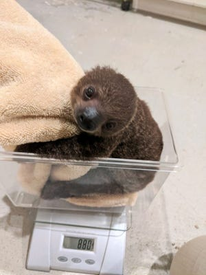 Mochi, a Linnaeus's two-toed sloth, was born Sunday, Feb. 28, 2021, at Hattiesburg Zoo in Hattiesburg, Miss. She will go in display at the zoo on Mother's Day weekend.