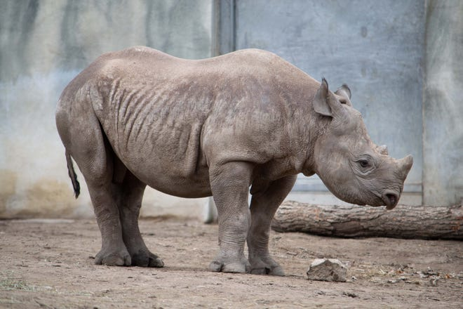 Jaali, Potter Park Zoo's black rhino calf, is moving to a new zoo in fall 2021.