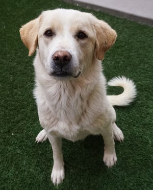 Cherokee, a 3-year-old Great Pyrenees mix, is one of the animals available for adoption this week through the Empty the Shelters being held at the Farmington Regional Animal Shelter when adoption fees have been reduced to $5.