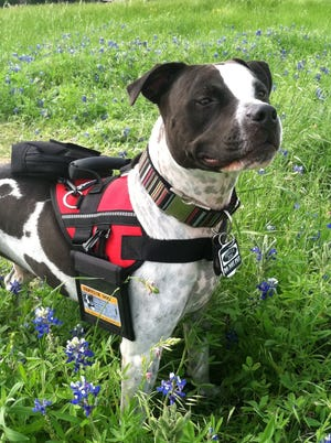 Truman, a Pit Bull Terrier, was recently inducted into the Pet Hall of Fame.