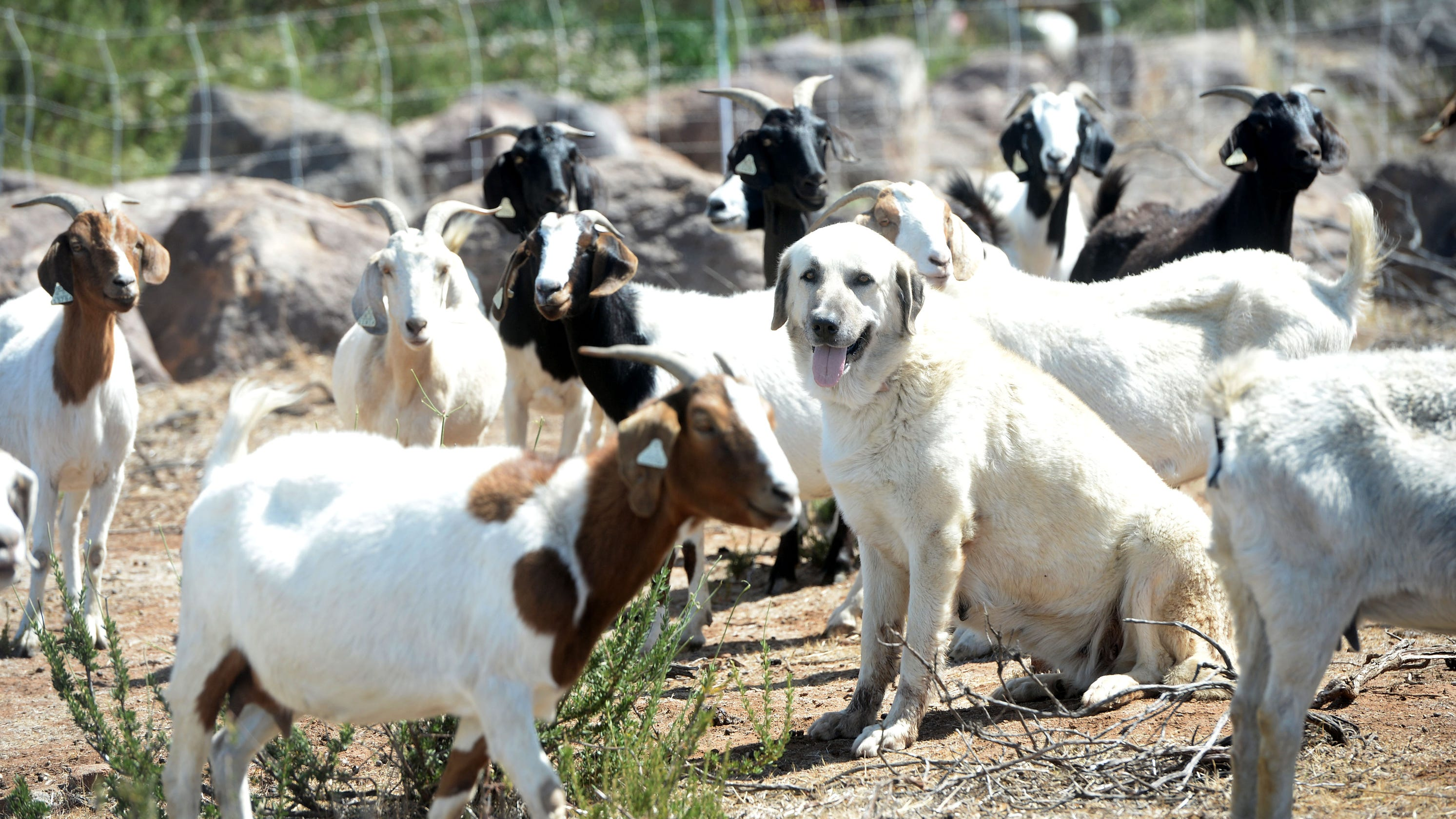 Reagan Presidential library gets its goats; animals help clear dry brush