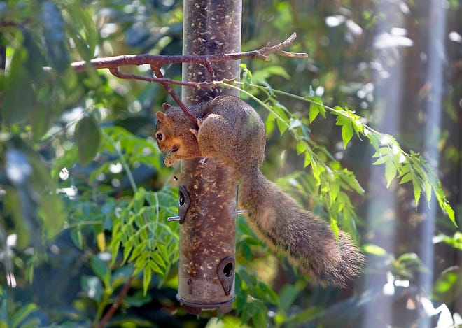 A squirrel is seen eating in a backyard.