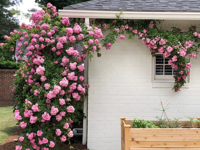 The Peggy Martin rose is an elegant climbing rose.