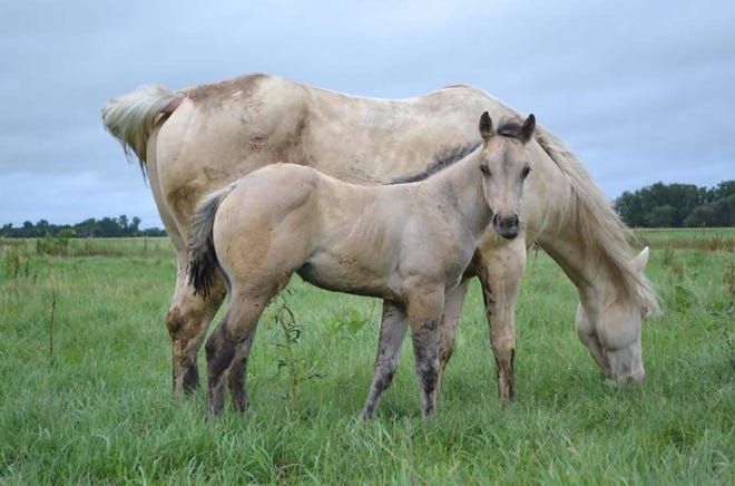 A mare and foal graze after being rotated recently to a fresh paddock in northeastern North Dakota.