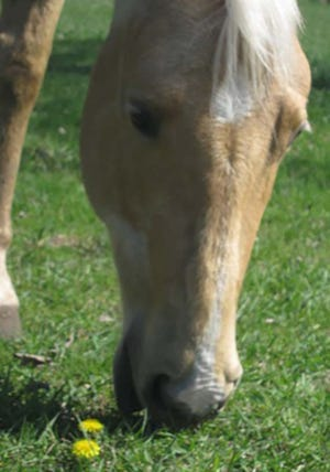A horse grazing in a pasture.