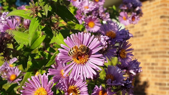 A honeybee sits on an aster.