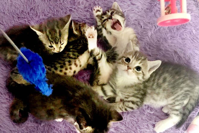 Some of the Saving with Soul rescue kittens that will be participating in Saturday's Kitten Yoga for a Cause event at Symmetry Integrative Health in Fort Walton Beach.