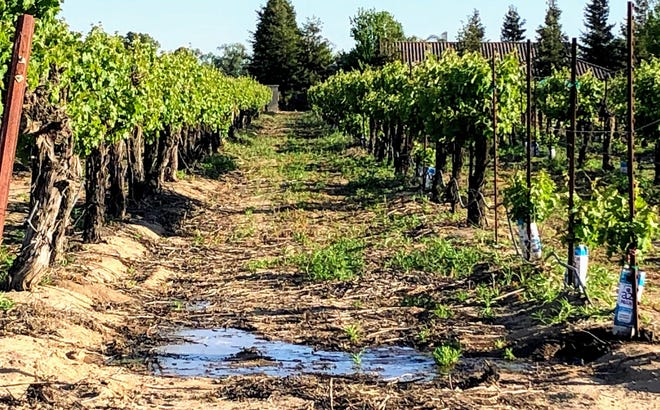 Coyote chewed irrigation in a San Joaquin County vineyard.