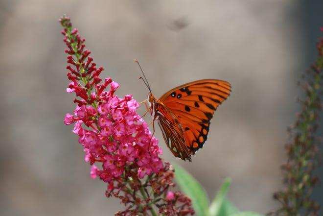 A Gulf Fritillary lights upon a Butterfly Bush Bloom.