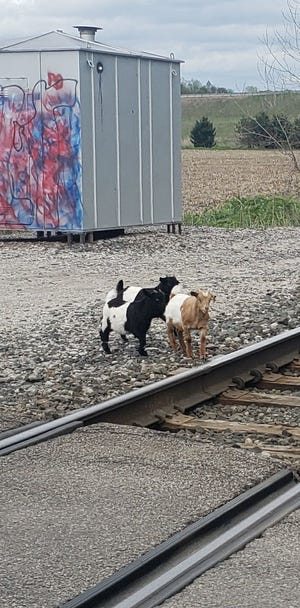 Someone dumped three baby goats along the railroad tracks on Sites Road around 6 p.m. Wednesday night. Anyone with information is asked to call the Richland County Sheriff's Office at 419-524-2412.