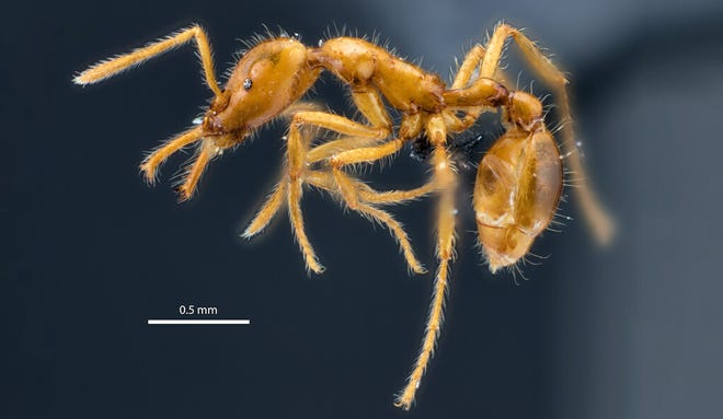 The new species of ant, discovered in an Ecuadorian rain forest, is notable for its smooth and shining cuticles and large trap jaw mandibles.