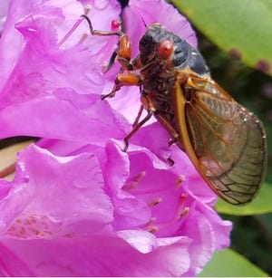 A Brood X cicada that recently emerged in Blairsville is shown on a flower.