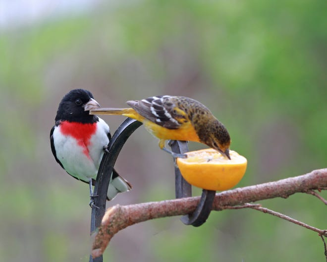 A grosbeak and an oriole enjoy an orange in this photo captured by reader Janie Ferguson.