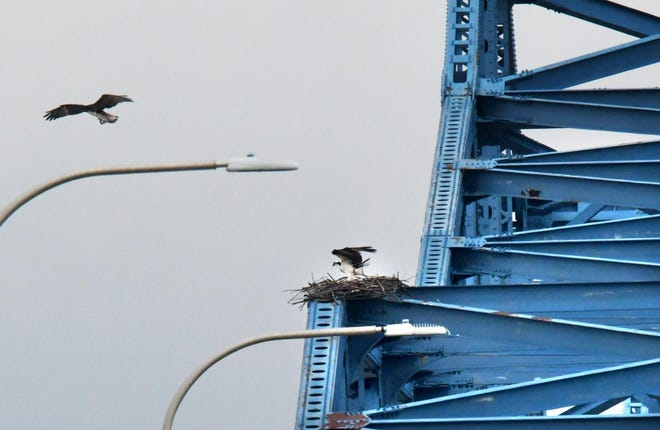 In this 2019 file photo, one of a nesting pair of ospreys lands in the nest on the eastbound span of the McClugage Bridge as the mate floats on the winds above the Illinois River.