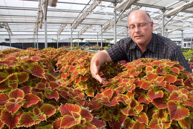 Dr. David Clark, professor environmental horticulture is pictured with Gator Glory Cloeus plants.