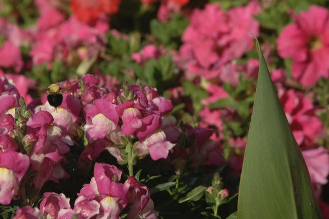 Snapdragons are top 10 cutting and potted flowers.