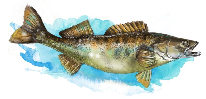 Walleye are stocked by the Oklahoma Department of Wildlife Conservation in eight lakes. Walleye are long and thin, primarily gold and olive in color, with a white belly. The walleye's mouth is large with sharp teeth, and it has low-light vision that helps it find prey at night.