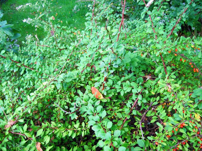 Japanese barberry is shown.