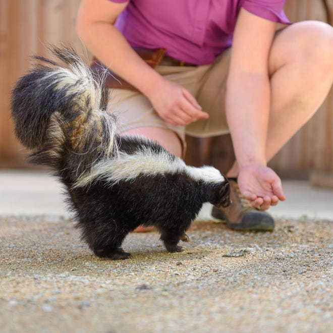 Sweet Pea the skunk at a Turtle Bay Exploration Park animal show in 2019. The 8-year-old skunk died Wednesday (May 5, 2021) after a neurological issue made it necessary she be raised in captivity and cared for by animal experts.