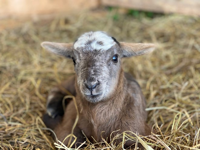 Three lambs were born at the Ozarks Technical Community College Richwood Valley Campus today, May 5. The sheep are part of the OTC Agriculture Program.
