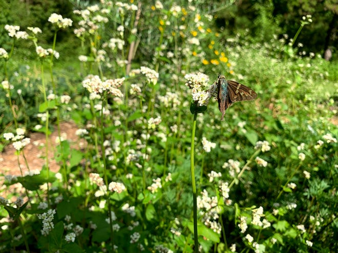 A longtailed skipper on a buckwheat flower at the UF/IFAS Leon County Extension Demonstration Garden.