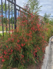 Firecracker plant is a good perennial to use in hot, sunny areas.