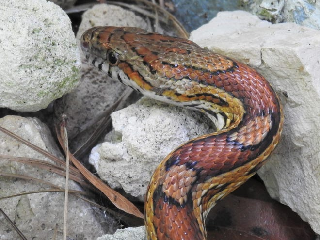 A corn snake lives in the limestone garden and it's probably the most beautiful animal in the whole yard.