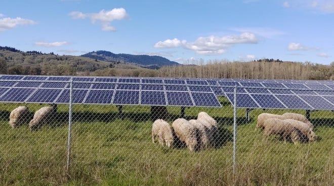 Sheep grazing underneath solar panels at Oregon State University.