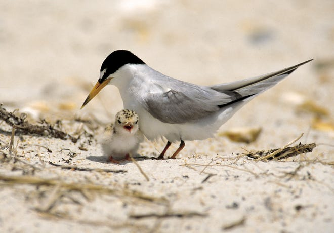 A least tern and a chick.