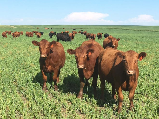 Vaccines can reduce the risk of buildup and spread of environmental pathogens to calves.