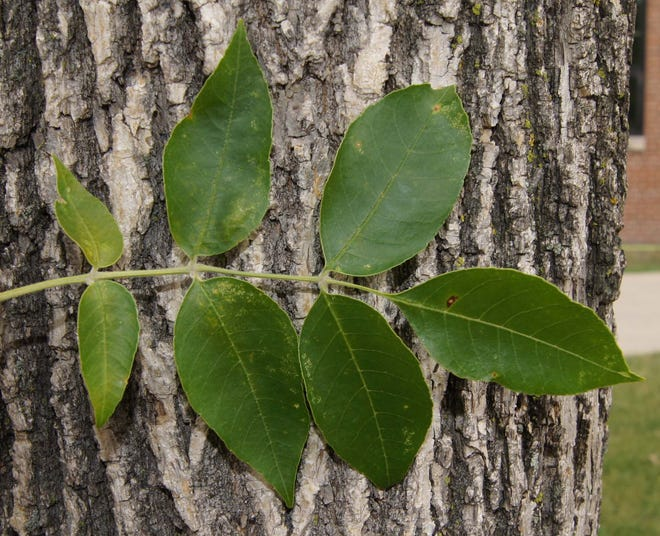 Green ash trees make up 60% of North Dakota's native forests.