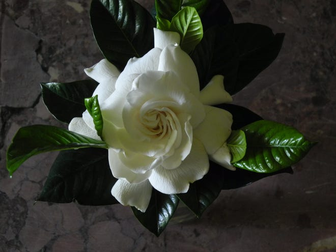 """The white bloom of the fragrant gardenia. Esposito's will hold a seminar on """"White Gardens"""" on June 12, 2021."""