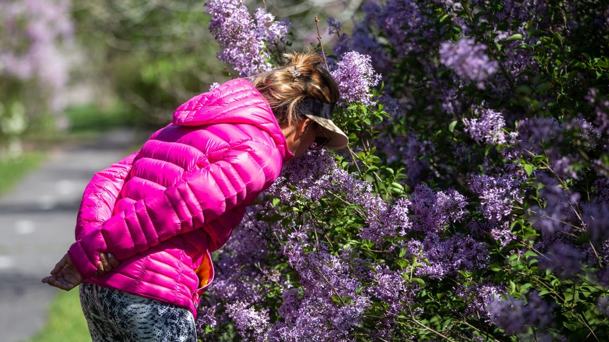 A sign of post-pandemic spring: Sniffing Mother's Day lilacs 3