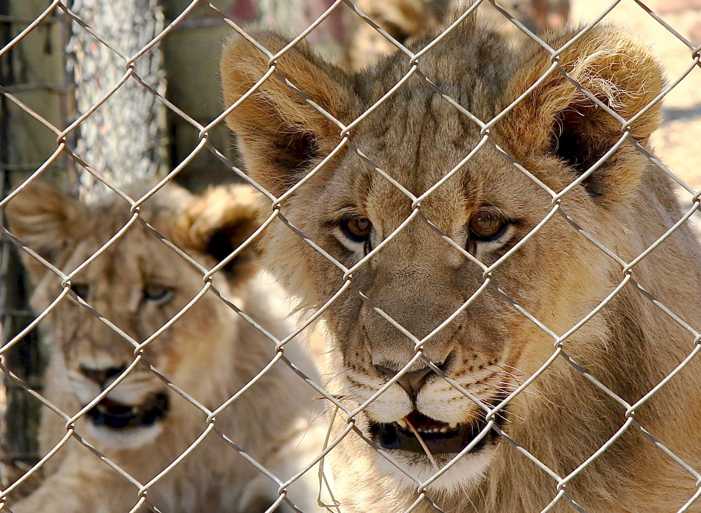 South Africa to end captive lion industry 1