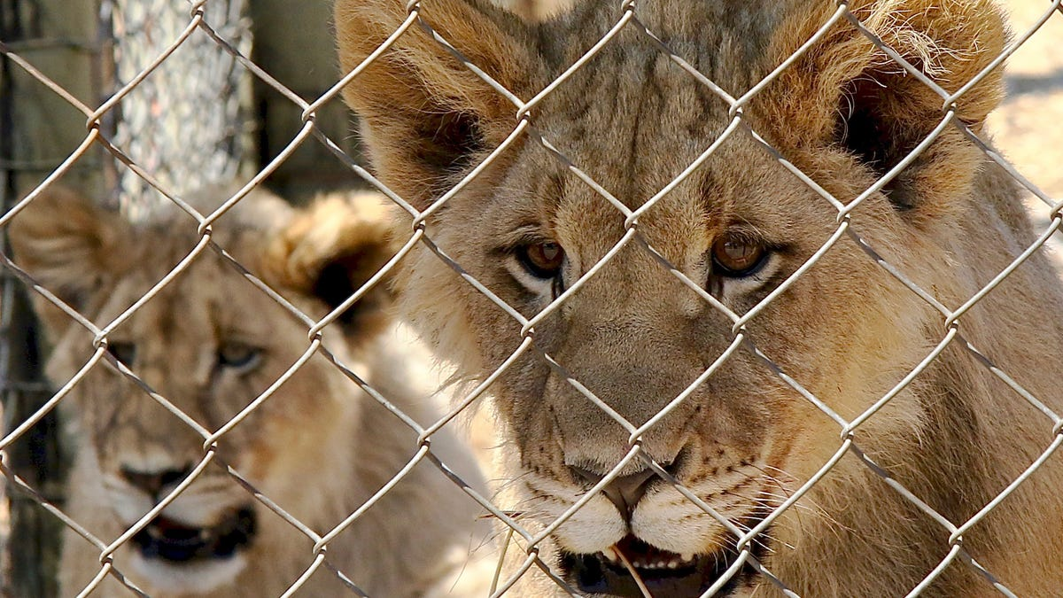 South Africa to end captive lion industry 2