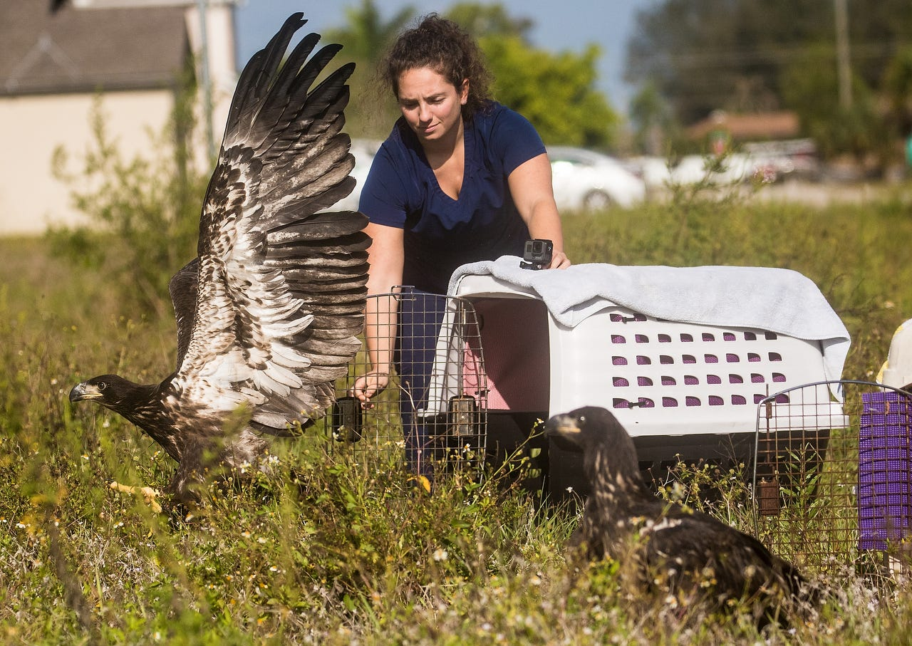 Sibling juvenile bald eagles released in Cape Coral by CROW