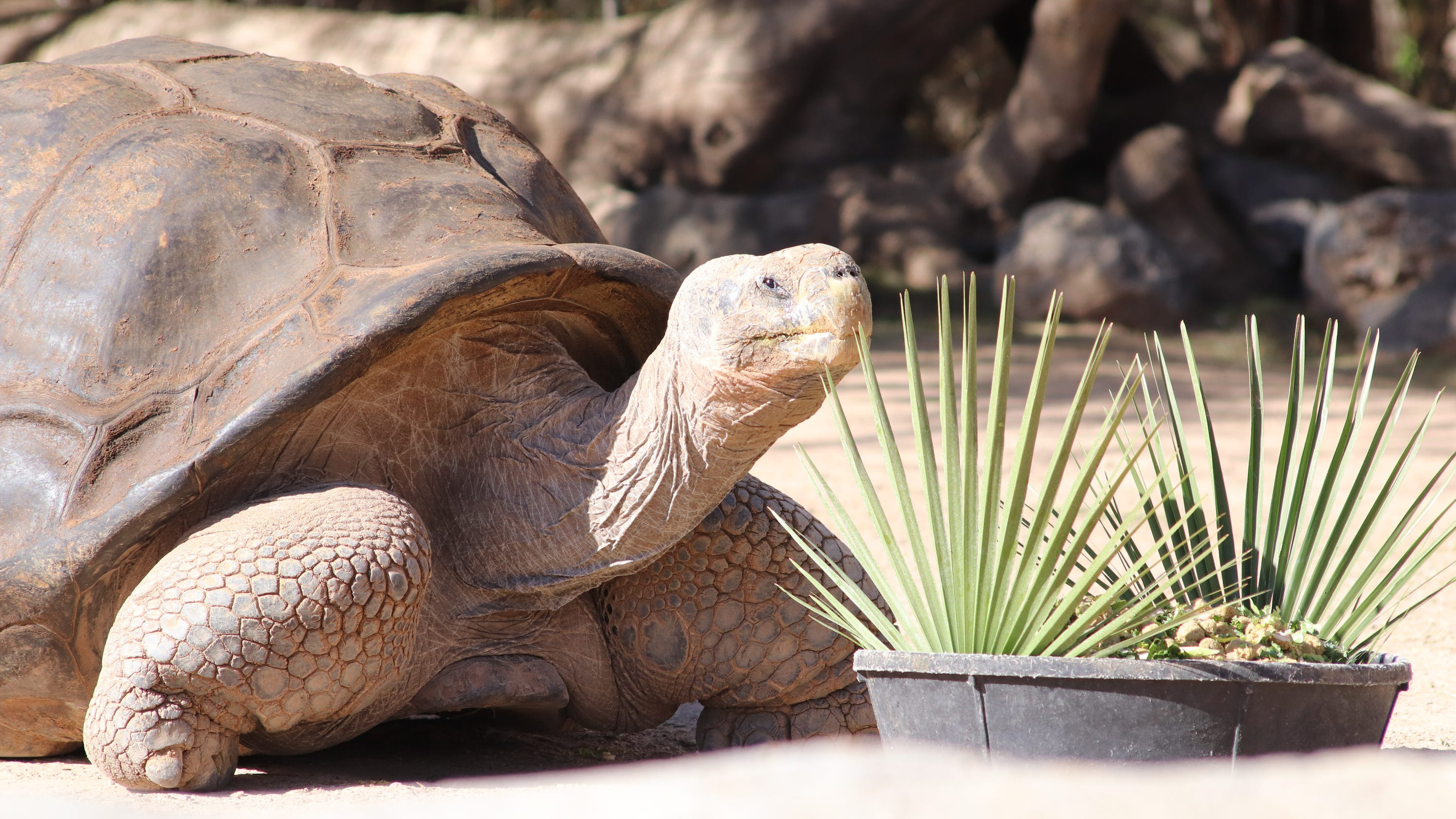 Ralph the Galapagos tortoise dies at 120 years old after surgery at the El Paso Zoo