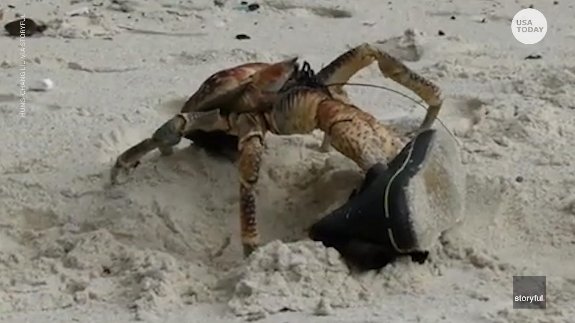 Robber crab lives up to its name after this heist on the beach